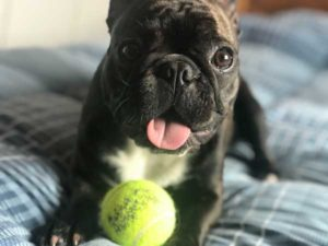 Bulldog Francés jugando con pelota de tenis