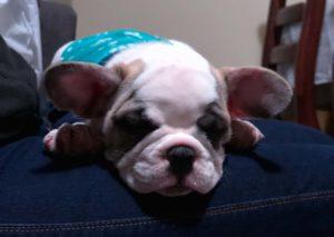 Mi bulldog francés no levanta las orejas