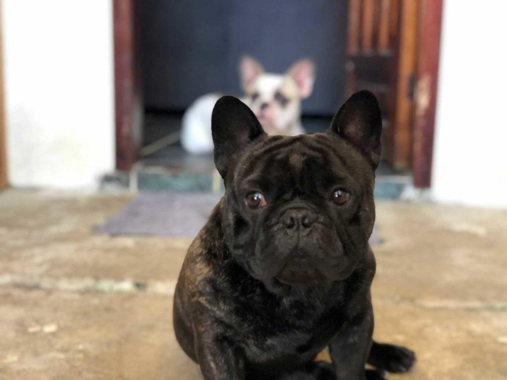 Bulldog Francés estándar de raza según la FCI