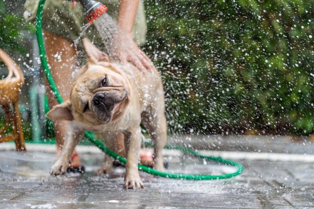 Golpe de calor en el Bulldog Francés