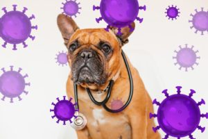 ¿Puede mi frenchie contagiarse de coronavirus?