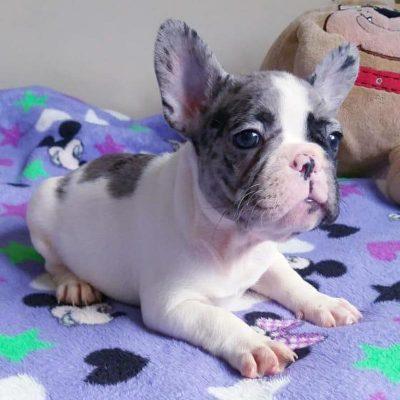 Baby Blue Bulldog Francés Quito