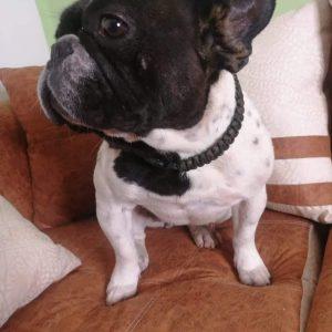 Reina Bulldog Francés Ecuador